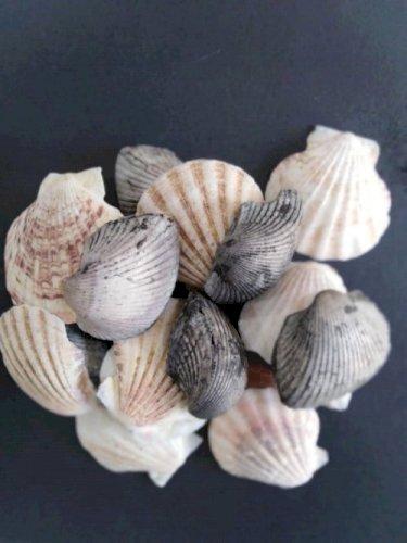Shells Big